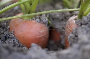 Karotten03