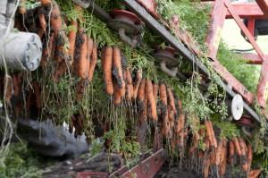 Karotten09