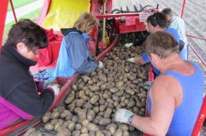 Kartoffeln03